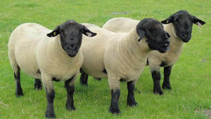 Koyun Cinsleri - En Kaliteli  Irkları